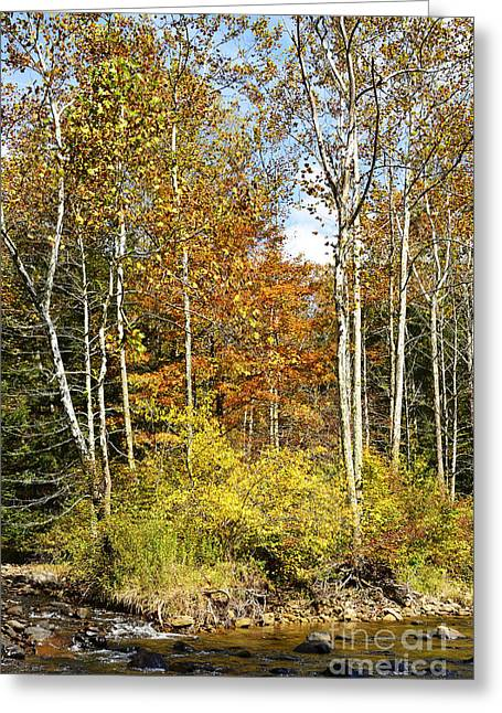 American Sycamore Greeting Cards - Sycamores Williams River  Greeting Card by Thomas R Fletcher