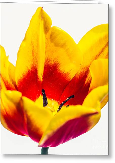 Wholesale Flowers Online Greeting Cards - Synaeda 1 Greeting Card by Courtney Trusty