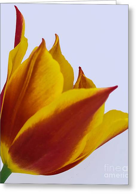 Wholesale Flowers Online Greeting Cards - Synaeda 5 Greeting Card by Courtney Trusty
