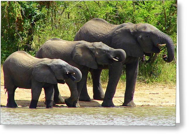 Elephant Drinking Greeting Cards - Synchronized Drinking Greeting Card by Ramona Johnston