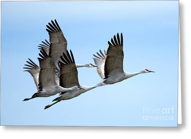 Sandhill Crane Greeting Cards - Synchronized Greeting Card by Mike Dawson