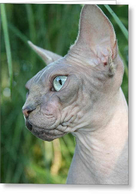 Sphynx Cat Portrait Greeting Cards - Syrys the Sphynx Greeting Card by Jes Fritze