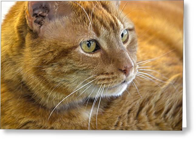 Tabby Cat Portrait Greeting Card by Sandi OReilly