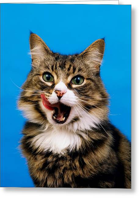 Us Open Photographs Greeting Cards - Tabby Cat Greeting Card by The Irish Image Collection