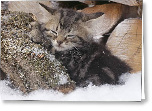 Shelter Kitty Greeting Cards - Tabby Kitten Asleep On Logs Greeting Card by John Daniels