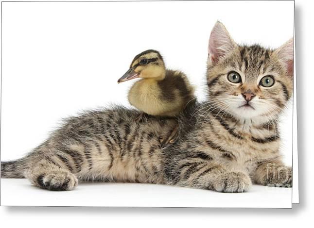 Mallard Ducklings Greeting Cards - Tabby Kitten With Mallard Duck Greeting Card by Mark Taylor