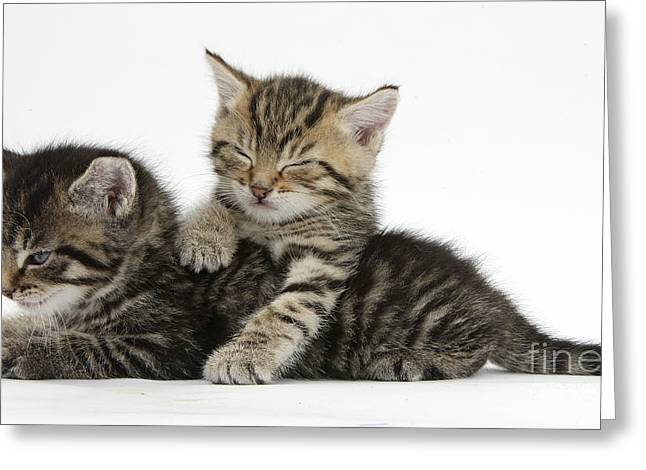 House Pet Greeting Cards - Tabby Kittens Dozing Greeting Card by Mark Taylor
