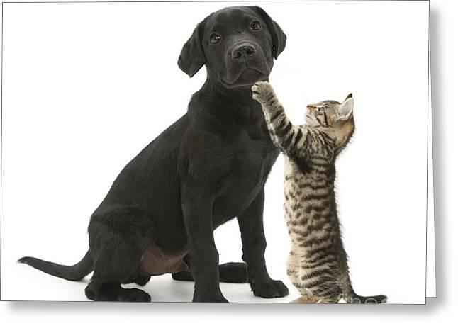 Tabby Male Kitten & Black Labrador Greeting Card by Mark Taylor