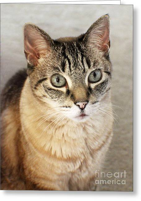 Shelter Kitty Greeting Cards - Tabby Portrait Greeting Card by Jacqueline Barden