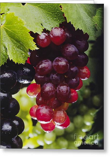 Concord Grapes Greeting Cards - Table Grapes Closeup Greeting Card by Craig Lovell