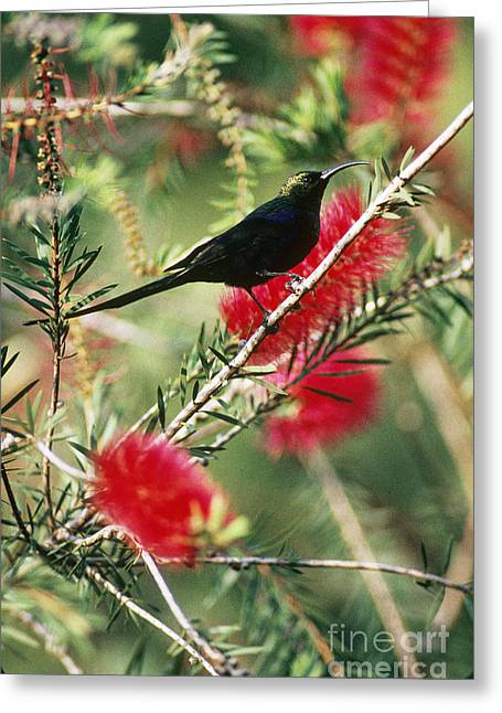 Sunbird Greeting Cards - Tacazze Sunbird Greeting Card by Gregory G. Dimijian, M.D.