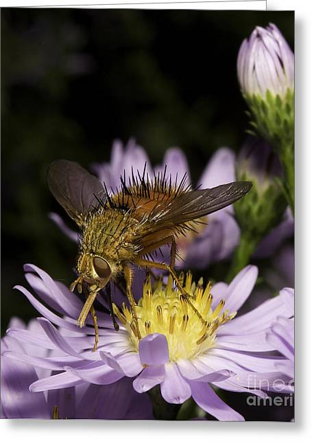 Flys Greeting Cards - Tachinid Fly Greeting Card by Phil McCollum