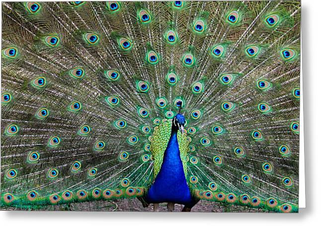 Southwick Greeting Cards - Tail Feather Greeting Card by KBPic