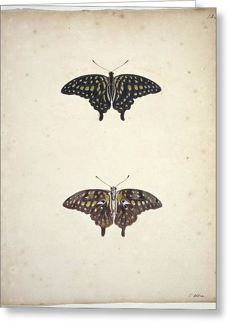 1700s Greeting Cards - Tailed jay butterflies, artwork Greeting Card by Science Photo Library