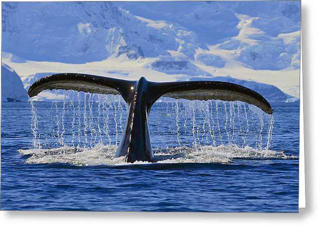 Ocean Mammals Greeting Cards - Tails from Antarctica Greeting Card by Tony Beck