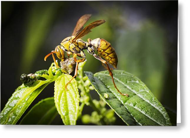 Taiwan hornet feeding on a caterpillar Greeting Card by Science Photo Library