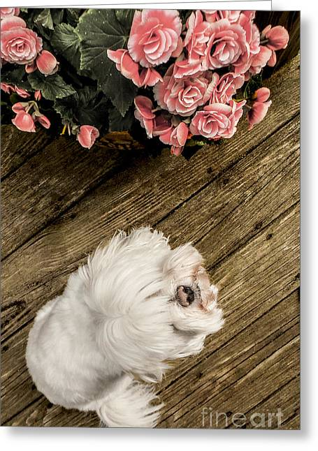 Bedroom Art Greeting Cards - Havanese Puppy Greeting Card by Charlie Cliques