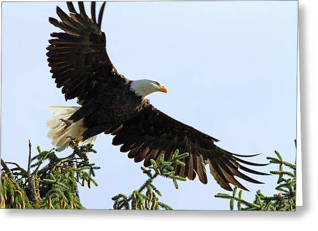 Eagle Pyrography Greeting Cards - Take Off Time Greeting Card by Shoal Hollingsworth
