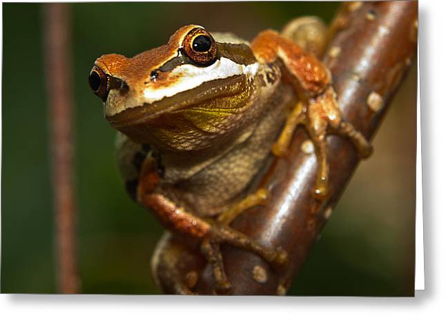 Tree Frog Greeting Cards - Take the Leap Greeting Card by Randy Hall