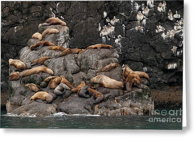 Sea Lions Greeting Cards - Takin it Easy Greeting Card by Richard Smith