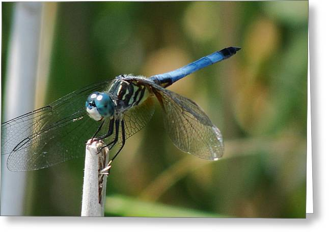 Blue Darner Dragonfly Greeting Cards - Taking A Rest Greeting Card by Janine Mannick