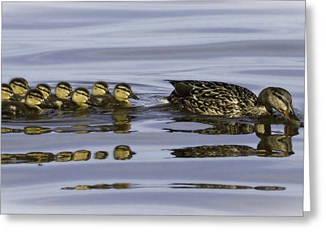 Baby Mallards Greeting Cards - Taking a Swim Greeting Card by Thomas Young