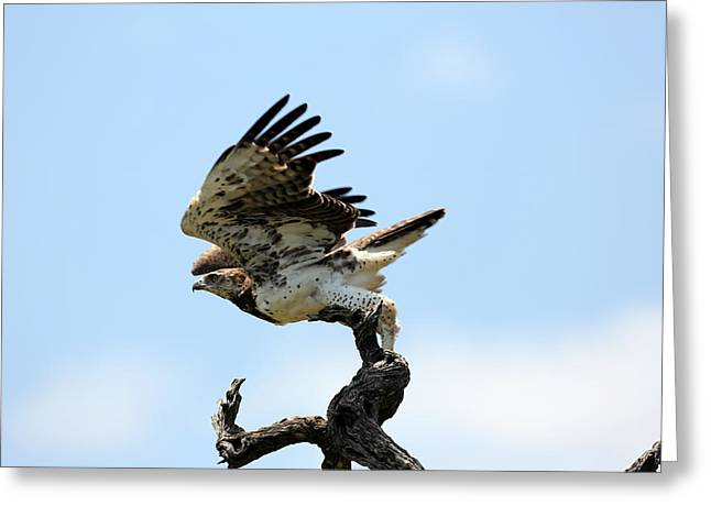 Martial Eagle Greeting Cards - Taking flight Greeting Card by David Fitzhugh