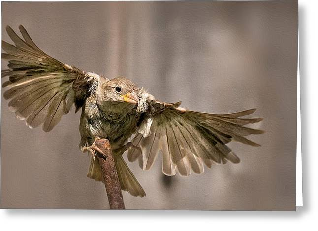 House Finch Greeting Cards - Taking Flight Greeting Card by Rick Barnard