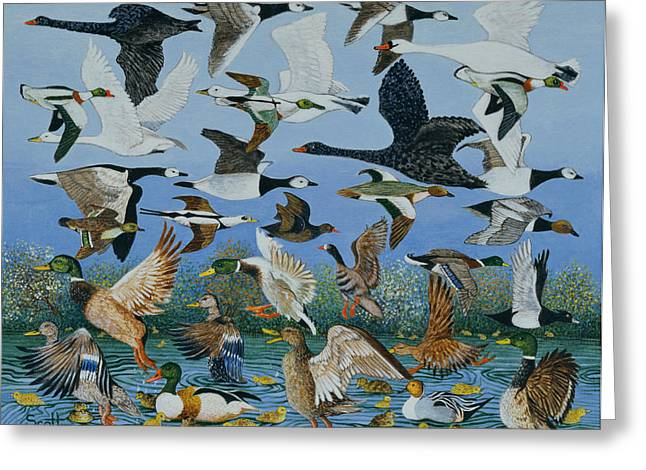 Wild Geese Greeting Cards - Taking Off, 1996 Greeting Card by Pat Scott