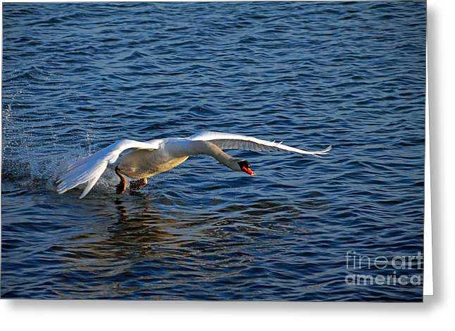 Flying Mute Swan Greeting Cards - Taking Off Greeting Card by Charline Xia