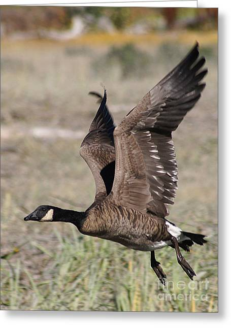 Hunting Bird Greeting Cards - Taking Off Greeting Card by Stanza Widen