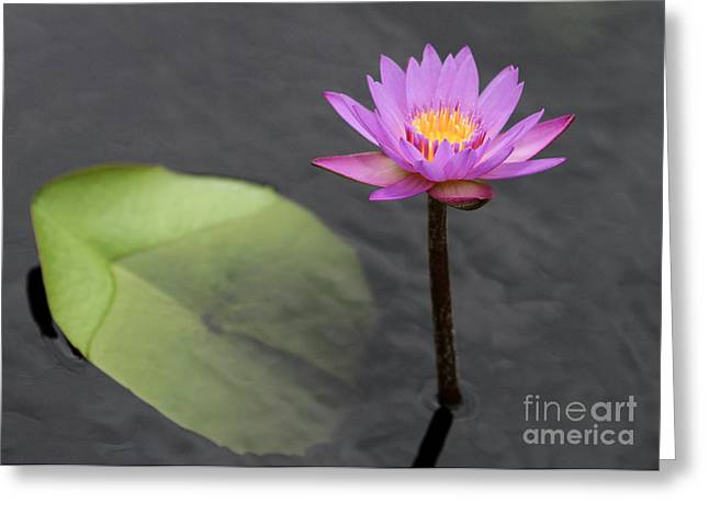 Florida Flowers Greeting Cards - Tall and Pink Water Lily Greeting Card by Sabrina L Ryan