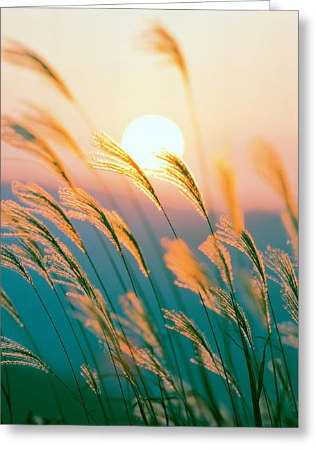 Backlit Greeting Cards - Tall Grass With Sunset In Background Greeting Card by Panoramic Images