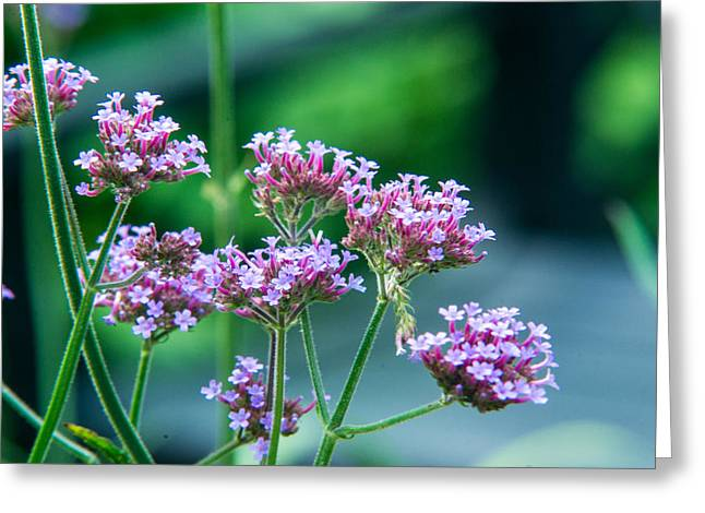 Verbena Greeting Cards - Tall Spiked Verbena 1 Greeting Card by Douglas Barnett