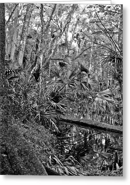 Polk County Florida Greeting Cards - Tannic Creek. Green Swamp Wildlife Management Area Polk County. Greeting Card by Chris  Kusik