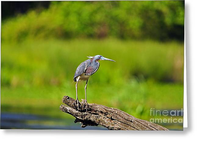 Louisiana Heron Greeting Cards - Tantalizing Tricolored Greeting Card by Al Powell Photography USA