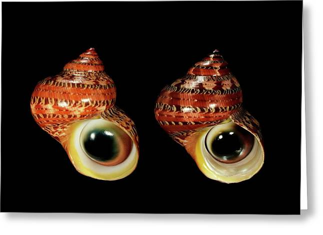 Tapestry Turban Sea Snail Shells Greeting Card by Gilles Mermet