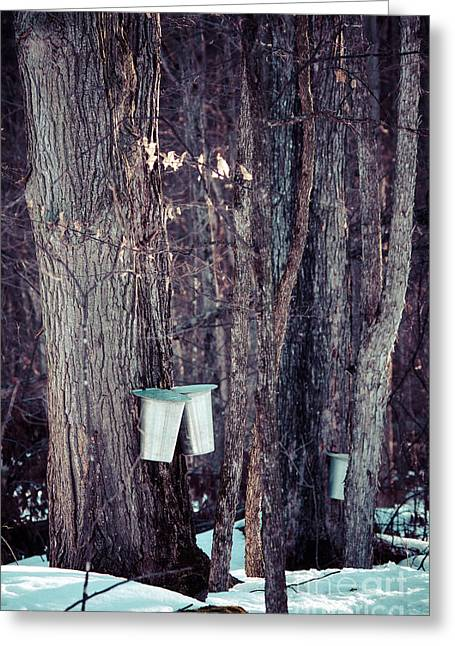 Sugaring Season Greeting Cards - Tapped Maples Greeting Card by Cheryl Baxter