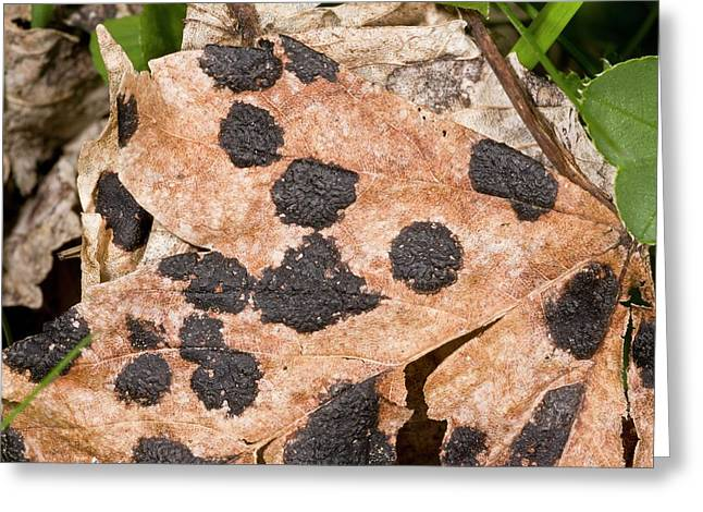 Tar Spot Fungus On Sycamore Greeting Card by Bob Gibbons