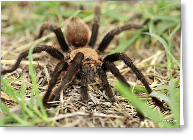 Big Spider Greeting Cards - Tarantula Greeting Card by Karen Slagle