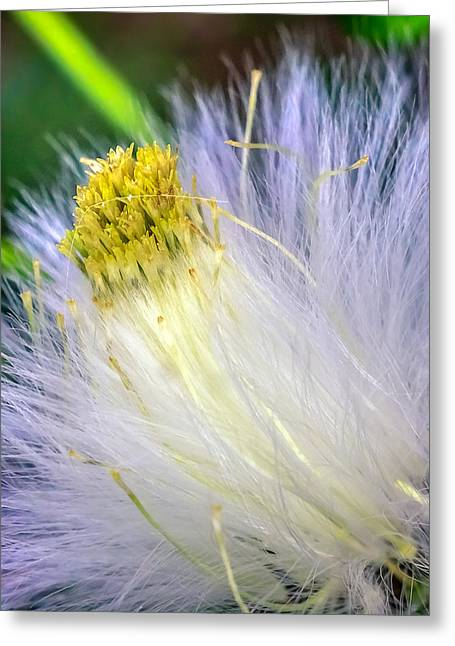 Sesquicentennial Greeting Cards - Taraxacum  Greeting Card by Rob Sellers