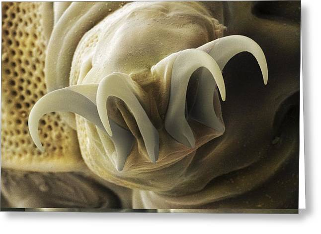 Aquatic Greeting Cards - Tardigrade or water bear foot SEM Greeting Card by Science Photo Library