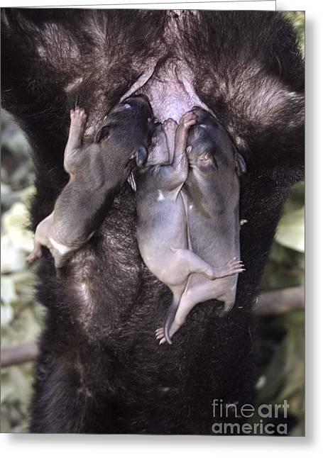 Tasmanian Greeting Cards - Tasmanian Devil Babies Suckling Greeting Card by Gerry Pearce