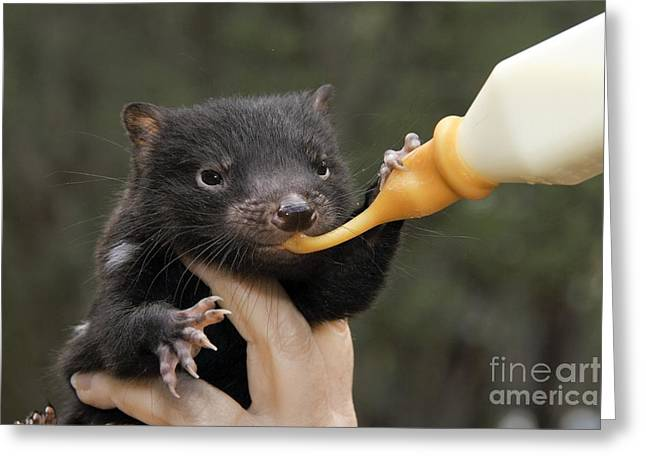 Fed Greeting Cards - Tasmanian Devil Baby Being Fed Greeting Card by Gerry Pearce