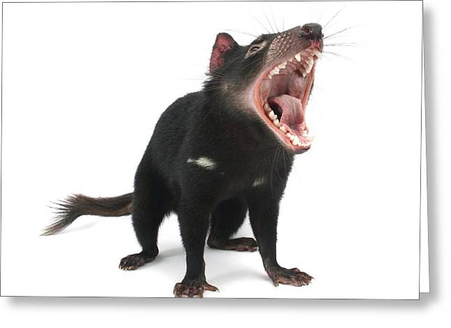 Tasmanian devil Greeting Card by Science Photo Library