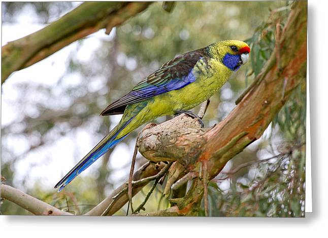 Green Forehead Greeting Cards - Tasmanian Green Rosella Greeting Card by Phil Stone