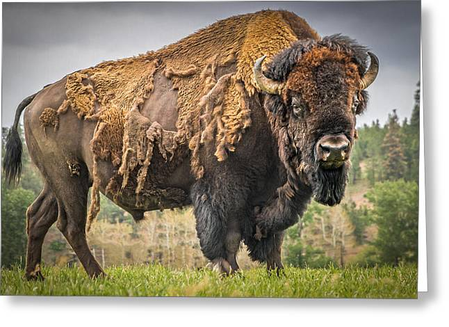 American Bison Greeting Cards - Tatanka - American Bison Greeting Card by Mark Mesenko