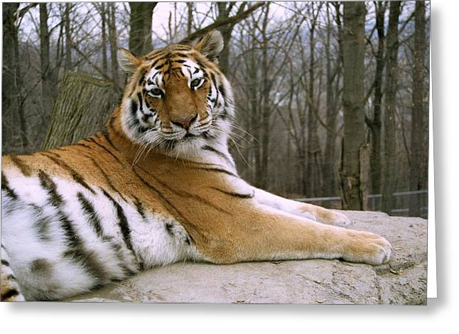 Rosamond Greeting Cards - Tatiana the Siberian Tiger Greeting Card by Marianne Miles