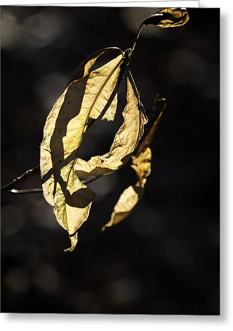 Tattered Leaf Greeting Card by Fran Gallogly