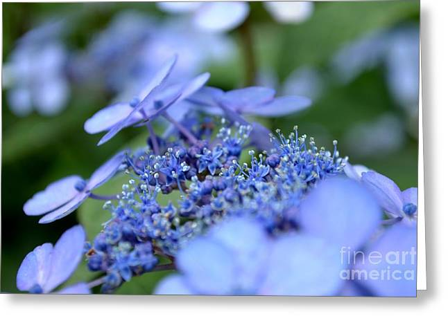 Lacecap Greeting Cards - Taube Lacecap Hydrangea Greeting Card by Scott Lyons